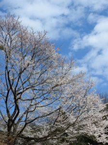 根尾谷の淡墨桜3