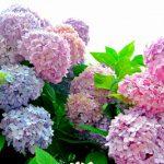 紫陽花(あじさい)はどれぐらいの種類があるの?花言葉は何?