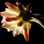 月下美人の花言葉や名前の由来。開花時期や花の特徴は?