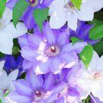 クレマチスの花言葉と花の特徴とは?開花時期や別名もご紹介!