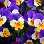 色によっても変わる!パンジーの花言葉とは?ビオラとの違いは何?