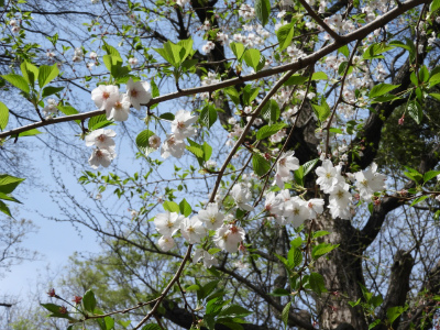 葉桜の時期って実際はいつ?季語としての使い方は? | 気になること ...