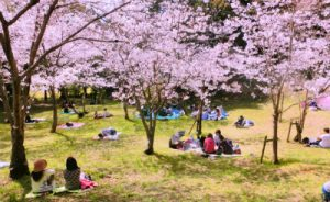 ソメイヨシノの桜