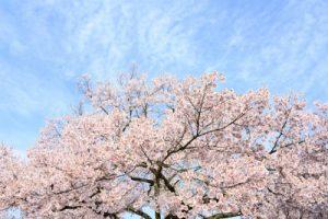 染井吉野の大きな桜