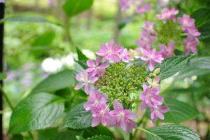 きれいな紫陽花の花