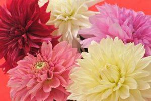 様々なダリアの花