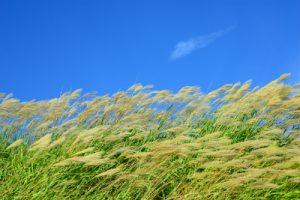 稲の刈り取り時期