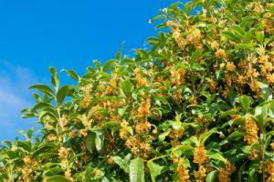 オレンジの花を咲かせる金木犀