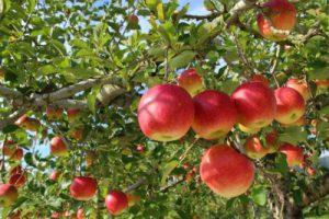 木になるりんご
