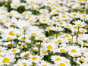たくさん咲くノースポール