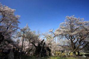 山高神代桜の見事さ