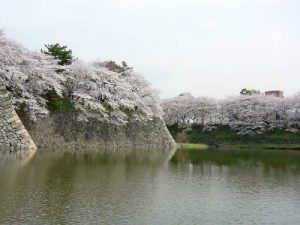 名古屋城のシダレザクラ