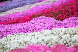 様々な色の芝桜