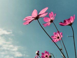日に向けて咲くコスモス